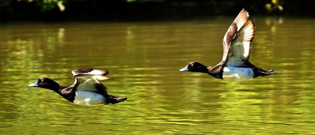 ClearFox® Abwasserbehandlung bei der Verarbeitung von Entenfleisch
